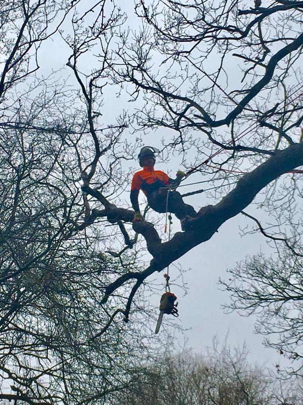 Tree surgeons Cheshunt Hertfordshire